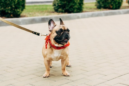 Leashed Dog Stock Photos And Images - 123RF
