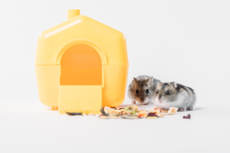 Adorable hamsters near yellow plastic pet house and dry food on grey background