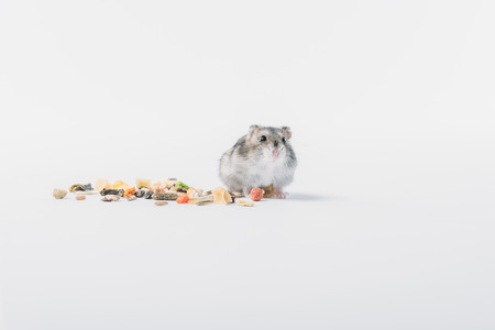 Adorable fluffy hamster near dry pet food on grey background with copy space