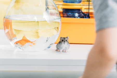 Selective focus of funny fury hamster and aquarium with gold fish on white table Reklamní fotografie