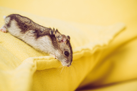 Selective focus of funny furry hamster on yellow textured background
