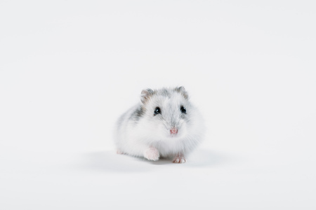 Funny fluffy hamster looking at camera on grey background with copy space