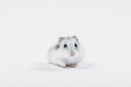 Lustiger flauschiger Hamster, der die Kamera auf grauem Hintergrund mit Kopienraum betrachtet Standard-Bild