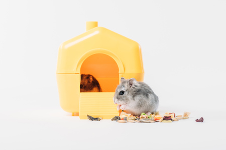 Funny fluffy hamster near pet house with one hamster inside on grey background