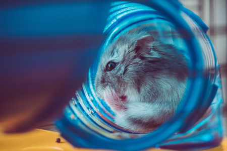 Selective focus of cute hamster sitting in blue plastic tunnel