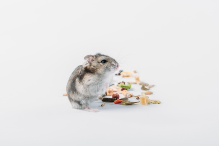 Cute furry hamster near dry pet food on grey background with copy space