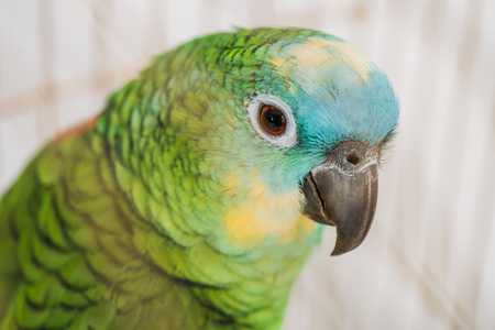 Selective focus of beautiful green parrot with multicolored head