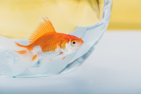 Bright gold fish in aquarium with clear transparent water