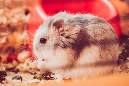 Selective focus of adorable fluffy hamster sitting in wooden filings