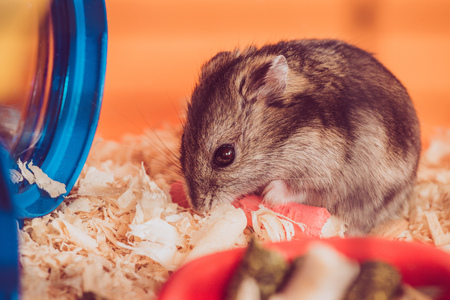Selective focus of adorable grey hamster sitting in wooden filings Zdjęcie Seryjne