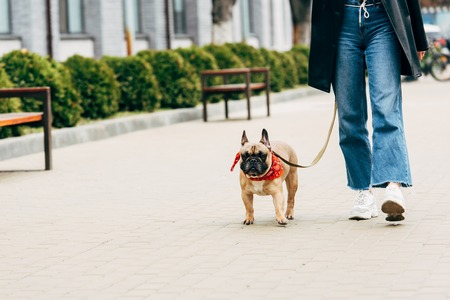 Cropped view of woman in jeans and white sneakers holding leash and walking with cute french bulldog