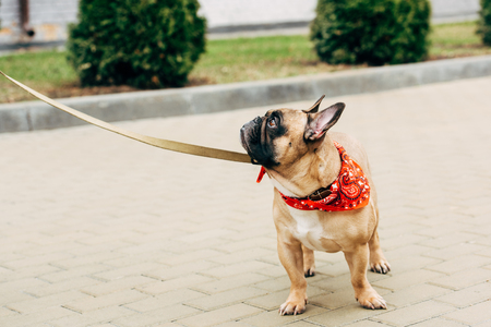 Cute and leashed purebred french bulldog wearing red scarf