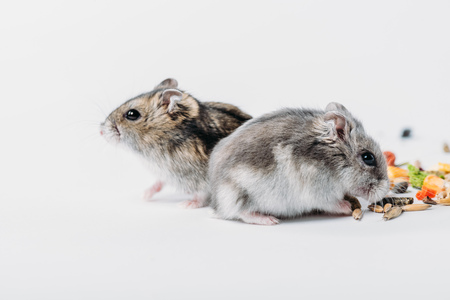 funny fluffy hamsters on grey background with copy space