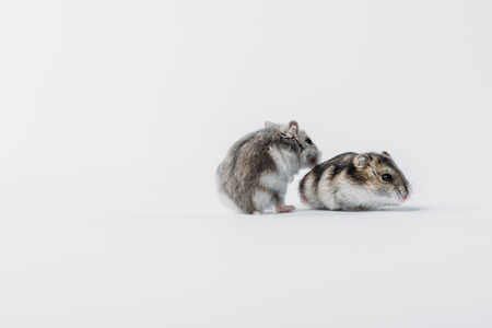 Adorable, furry hamsters on grey background with copy space Zdjęcie Seryjne