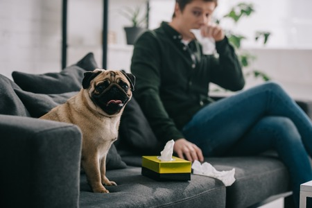 Selective focus of cute pug dog near tissue box and man sneezing on sofa Stok Fotoğraf