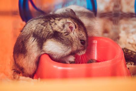 fuoco selettivo di un simpatico criceto che mangia da una ciotola di plastica arancione Archivio Fotografico
