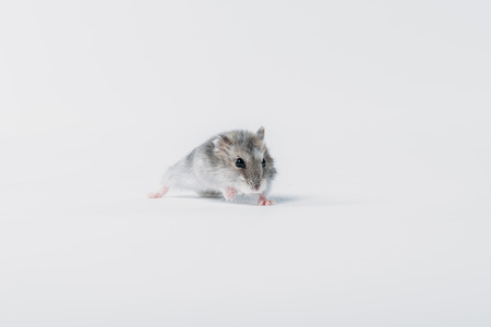 one cute, grey fluffy hamster on grey background with copy space