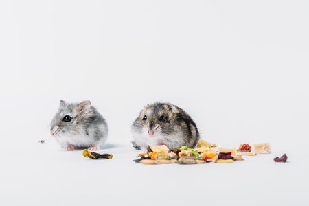 Cute furry hamsters near dry pet food on grey background with copy space