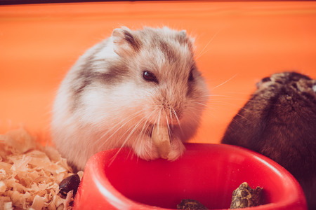 adorable fluffy hamster eating nut near orange plastic bowl