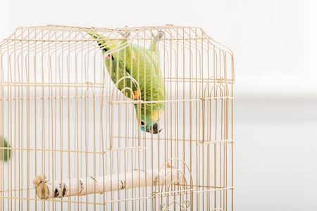 Funny green amazon parrot hanging head down in bird cage Stockfoto - 120879487