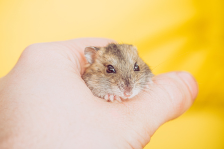 cropped view of man holding adorable fluffy hamster on yellow Zdjęcie Seryjne