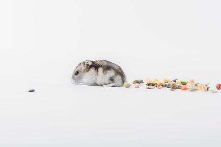 funny hamster near dry pet food on grey background with copy space