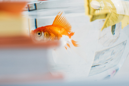 selective focus of gold fish in aquarium with clear transparent water