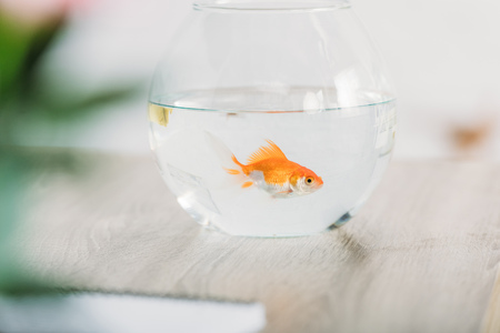Selective focus of bright gold fish in aquarium on grey wooden surface Reklamní fotografie