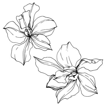 Vektor-Orchidee botanische Blumen. Wilde Frühlingsblatt Wildblume isoliert. Schwarz-weiß gravierte Tinte Art.-Nr. Isolierte Orcids-Illustrationselement auf weißem Hintergrund. Vektorgrafik