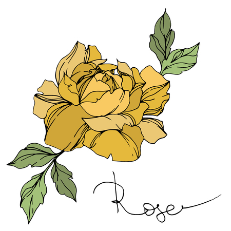 Vector Rose floral botanical flower. Wild spring leaf wildflower isolated. Yellow and green engraved ink art. Isolated roses illustration element on white background.
