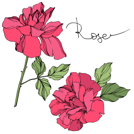 Vector Rose floral botanical flower. Wild spring leaf wildflower isolated. Red and green engraved ink art. Isolated roses illustration element on white background. Illustration