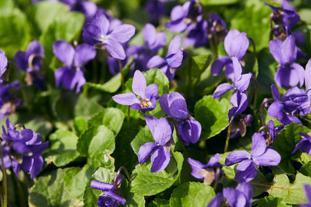 Blooming violets with green leaves in sunlight Stockfoto