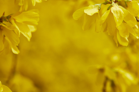 Close up of yellow flowers in blossom on tree branches