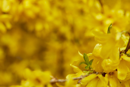 Close up of yellow blossoming flowers with petals on tree branches