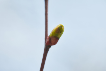Selective focus of green closed bud on tree branch