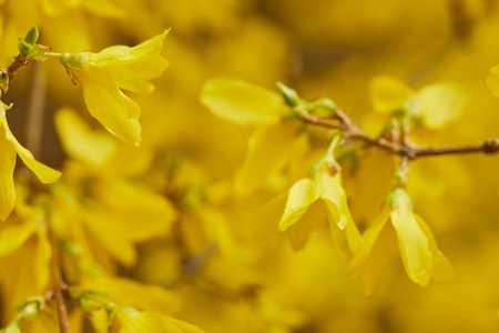 Close up of yellow blossoming flowers with big petals on tree branches Stock Photo