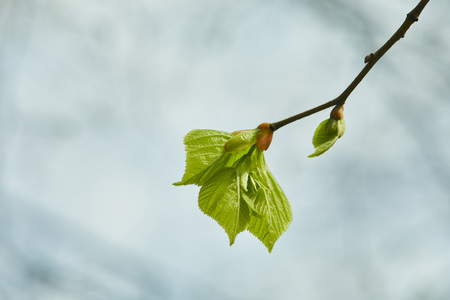 Close up of buds and blooming green leaves on tree branch