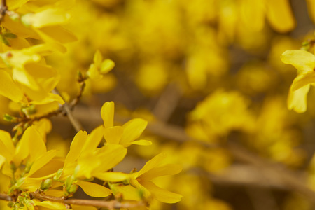 Close up of yellow blossoming flowers on tree branches