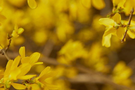 Close up of yellow blooming flowers with big petals on tree branches