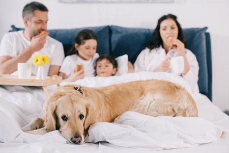 selective focus of golden retriever near family eating breakfast in bed Zdjęcie Seryjne