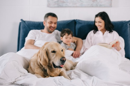 selective focus of cute golden retriever lying on bed near happy parents and toddler son