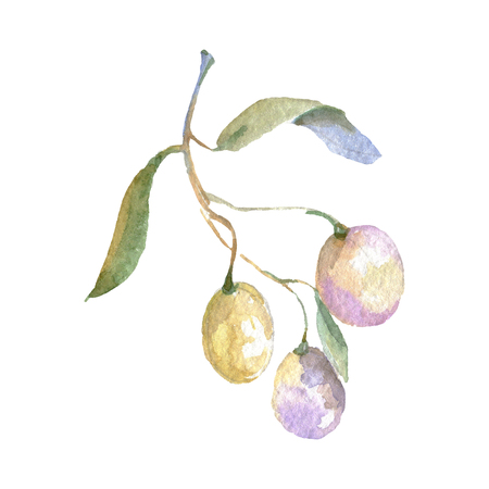 Olive branch with green fruit. Watercolor background illustration set. Watercolour drawing fashion aquarelle isolated. Isolated olives illustration element. Banco de Imagens - 123100194