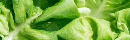 panoramic shot of green fresh organic lettuce leaves with water drops