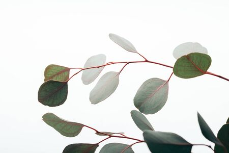 Close up of green eucalyptus branches isolated on white background
