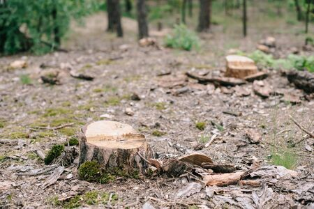 Dry wood stumps of cut tree and green moss in forest Zdjęcie Seryjne