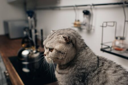 selective focus of adorable scottish fold cat sitting in kitchen