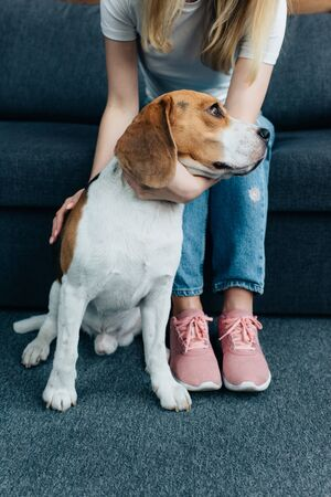 cropped view of young woman sitting on couch and stroking beagle dog