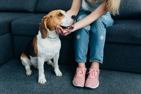 partial view of young woman sitting on couch and stroking beagle dog Фото со стока