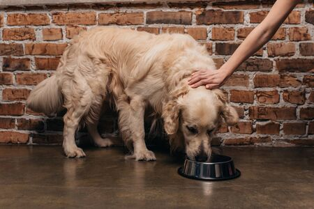 Cropped view of woman stroking golden retriever dog eating pet food