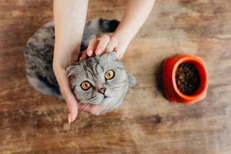 Cropped view of young woman stroking scottish fold cat